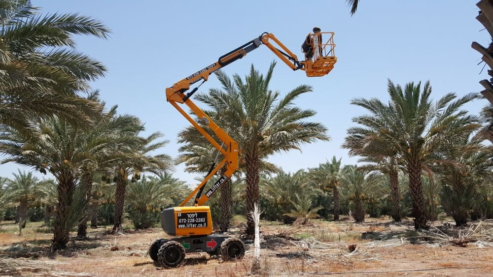 במת הרמה ג'ירפה בצבע צהוב, עבודת חוץ ליד עצי תמר